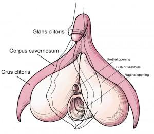 Clitoris_anatomy_labeled-en-300x261
